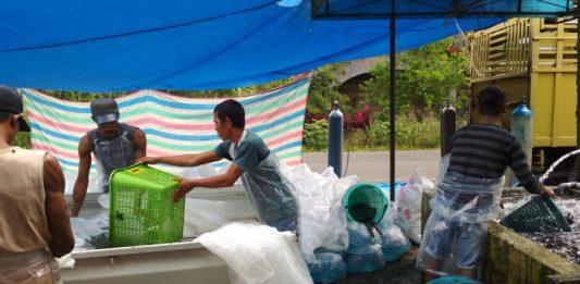 Penjualan Ikan Danau Maninjau Capai Rp 1,1 Triliun Pertahun