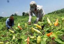 Petani Cabai di Mataram Disarankan Jual Hasil Panen Keluar Daerah