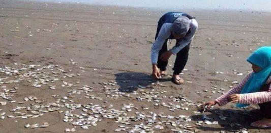 Lagi, Ikan Mati Massal di Pantai Lolonluan